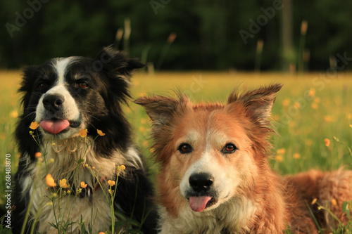 Foto playing border collies in the meadow with flowers at sunset
