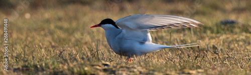 Fototapeten Natur The Arctic tern (Sterna paradisaea) is a tern in Iceland