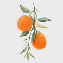 Watercolor Citrus Fruits Vector Illustration