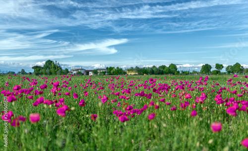 Campagna con fiori viola e lilla su uno sfondo di nuvole ventose bianche con cir Fototapeta