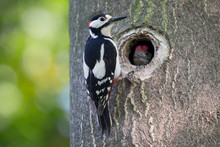 Wonderful Portrait Of Woodpecker With His Chick (Dendrocopos Major)