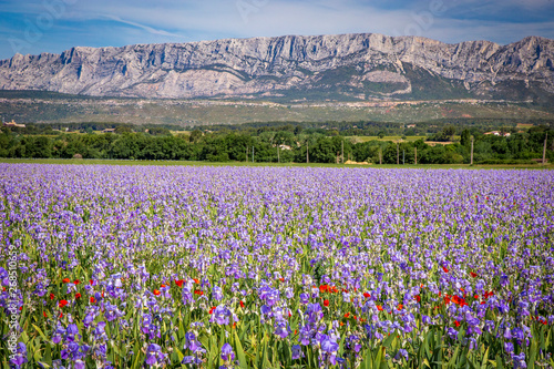 Iris meadow close to Sainte Victoire mountain near aix en Provence France.