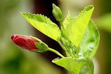 Bud Of A Flower