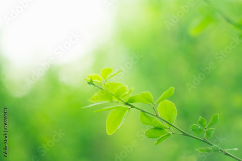 Poster Printemps Soft focus green leaves on blur nature background with morning light
