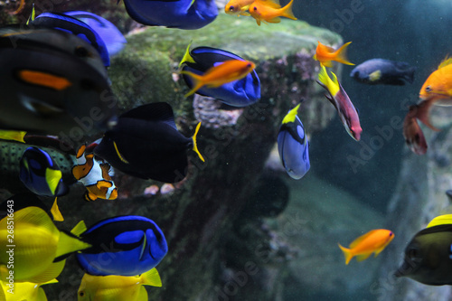 Dory fish closeup or Palette surgeonfish inside coral reefs in the blue aquarium Canvas Print