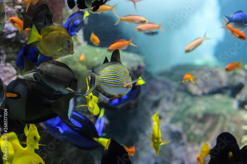 Photo  Dory fish closeup or Palette surgeonfish inside coral reefs in the blue aquarium