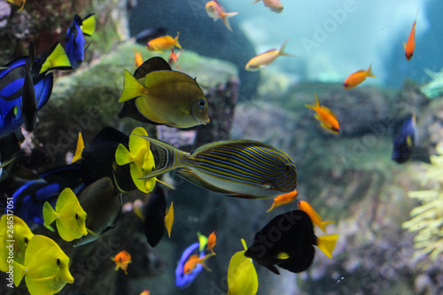 Photo  Dory fish closeup or Palette surgeonfish inside coral reefs in the blue aquarium
