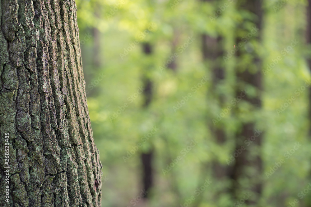 Fototapety, obrazy: old oak tree trunk in spring forest