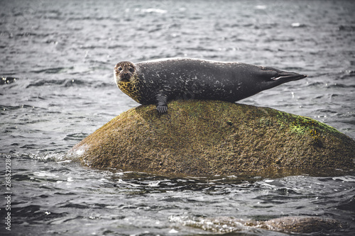 Photo Seal on a rock, Isle of Arran, Scotland
