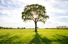 Sunshine Through Lone Oak Tree On Green Meadow
