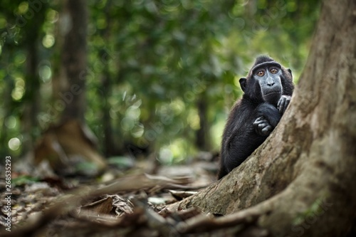 Foto op Aluminium Aap Young crested macaque looking curiously into the camera in jungle. Close up portrait. Endemic black crested macaque. Natural habitat. Unique mammals in Tangkoko National Park,Sulawesi. Indonesia