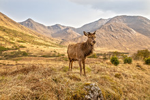 Red Deer In The Scottish Highlands Near Glen Coe