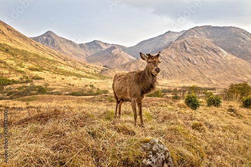 Red Deer in the Scottish Highlands near Glen Coe фототапет