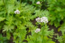 Valeriana Officinalis Valerian Blossoming Herb