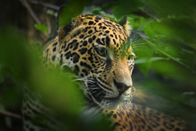 Jaguar - Panthera Onca A Wild Cat Species, The Only Extant Member Of Panthera Native To The Americas