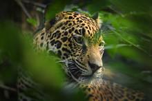 Jaguar - Panthera Onca A Wild ...