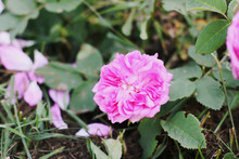 Louise Odier Or Madame De Stella Rose. Beautiful Ancient Variety Of Roses. Fragrant Beautiful Plant.