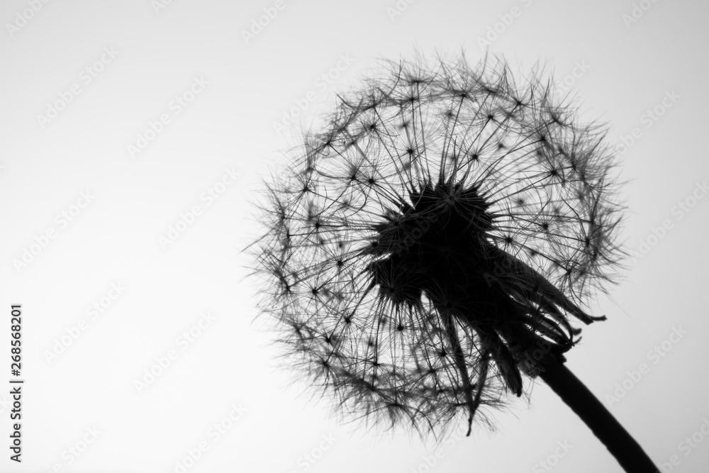 Fototapety, obrazy: Macro dandelion seeds closeup in sunlight. Allegory of purity and lightness. Black and white photo.