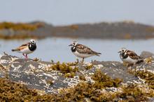 Three Ruddy Turnstones Shorebi...