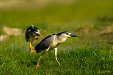 Hunting Heron. Green Nature Ha...