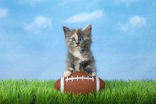 Adorable Diluted Tortie Kitten...