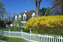 Spring Scene With Blooming Yellow Forsythia Bush And House With White Picket Fence