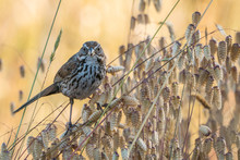 Song Sparrow Perched On Reeds