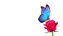 Morpho Butterfly Sitting On A Rose Isolated On White. Red Roses And A Bright Blue Butterfly Close Up. Decor For Greeting Card. Copy Spaces.