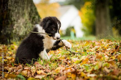 Stampa su Tela Portrait of cute black and white Border Collie puppy in fallen leaves