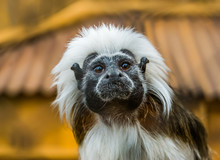 Funny Closeup Of The Face Of A Cotton Top Tamarin, Tropical Critically Endangered Monkey From Colombia