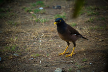 Close Up Of Common Myna Walking On The Ground
