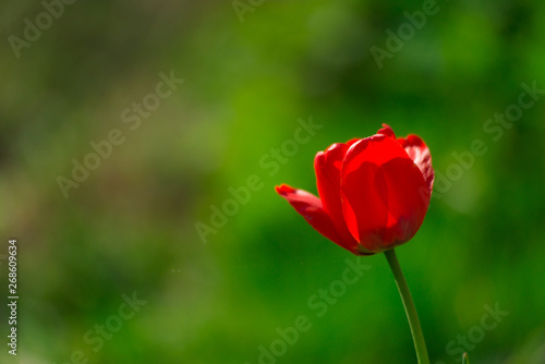 Spoed Fotobehang Tulp Red tulip on a sunny day close-up.