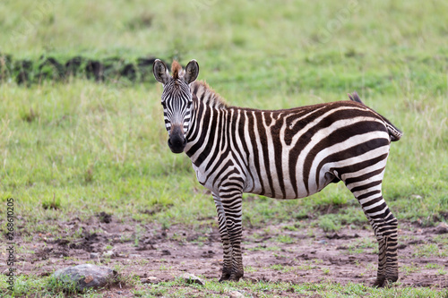 Wall Murals Zebra A Zebra family grazes in the savanna in close proximity to other animals