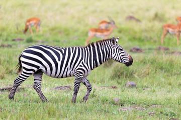Fototapeta na wymiar A Zebra family grazes in the savanna in close proximity to other animals