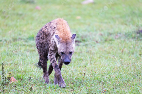 Poster Hyène A hyena walks in the savanna in search of food