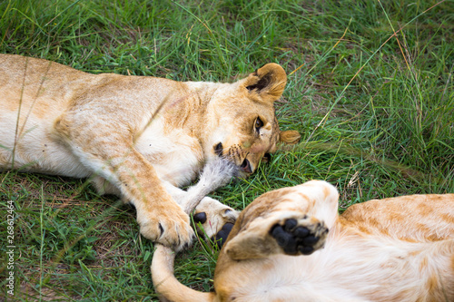Fotografia, Obraz  Two young lions cuddle and play with each other
