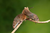 ADorable and Cute harvest mice micromys minutus on wooden stick with neutral green background in nature - 268614804