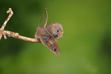 ADorable and Cute harvest mice micromys minutus on wooden stick with neutral green background in nature - 268615003