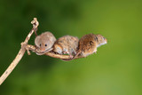 ADorable and Cute harvest mice micromys minutus on wooden stick with neutral green background in nature - 268615008