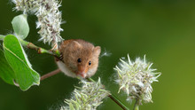 Adorable Cute Harvest Mice Micromys Minutus On White Flower Foliage With Neutral Green Nature Background