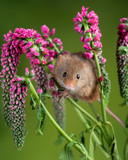 Adorable cute harvest mouse micromys minutus on red flower foliage with neutral green nature background - 268615401