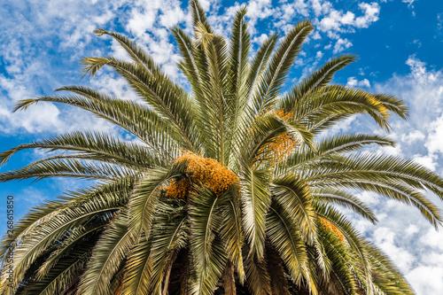 Fotobehang Canarische Eilanden The crown of a date palm