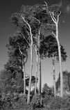 Beautiful toned black and white landscape image of Scot's Pine trees Pinus Sylvestris in soft Spring sunlight in English countryside - 268617438