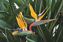 Closeup View Of Blooming Flower Of Strelitzia Among Leaves, Tropical Gardens Concept