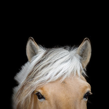 Head With Beautiful Eyes And Ears Of A Chestnut Norwegian Fjord Horse On Black Background. Portrait Of An Animal Close Up.