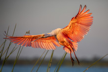 Roseate Spoonbill In Flight (P...