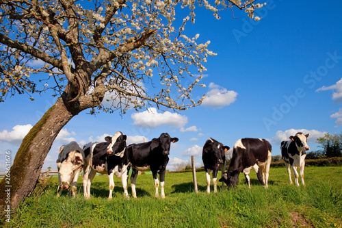 Photo sur Toile Vache Vache dans les champs au printemps