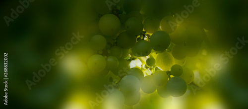 Close-up bunch of green grapes. Fruit of vineyard. Blur green background.