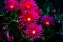 Planta Rastrera  De Jardín, Lamparuntus, Uña De Gato, De Color Purpura