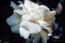 Una Sola Rosa Grande En Color Blanco Con Fondo Oscuro